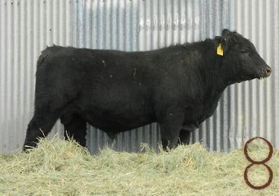 McKenzie Bull Sale 2017 Angus Bull_d087 rt